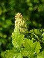 Ribes alpinum 2019-04-16 0508.jpg