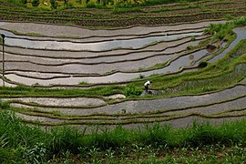 Rice terraces 4.jpg