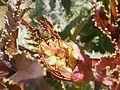 Ricinus communis bouboukia.JPG