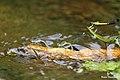 River Heliodor females ( Libellago lineata) laying eggs (Ovipositing). തവളക്കണ്ണൻ പെൺതുമ്പികൾ നിരന്നിരുന്നു മുട്ടയിടുന്നു. (35797005743).jpg