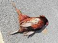 Roadkill pheasant.jpg