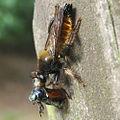 Robber fly Choerades fulva biting Phyllopertha horticola – (Andreas Plank, 2015-06-28, Baumgarten (Sonnenberg), Germany) quadratic.JPG