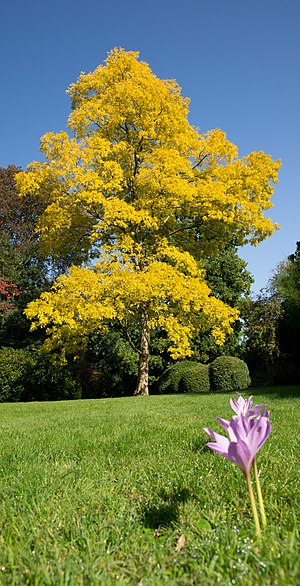 "English: A ""Golden False Acacia"" in ..."