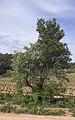 Robinia pseudoacacia and Pinus halepensis, Castelnau-de-Guers 03.jpg