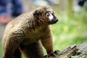 Red-bellied lemur - Image: Roodbuikmaki