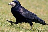 Rook - Corvus frugilegus (476445950).jpg