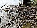 Roots Parkers Creek Jordan Lake NC SP 3816 (36142689065).jpg