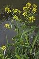 Rorripa amphibia berry-au-bac 02 01062007 1.jpg