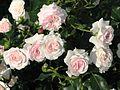 Rosa 'Larissa' 01.jpg