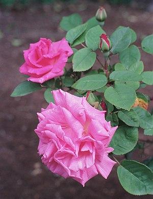 Rosa 'Zephirine Drouhin', gr. Borbonianas, sec...