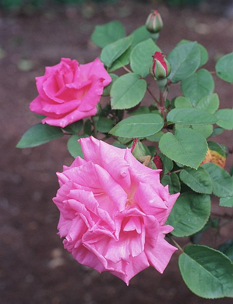 File:Rosa 'Zephirine Drouhin'.jpg