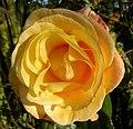 Rosa (247743475).jpg