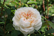 Glamis-Castle-rose