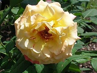 Rosa Aquarell.JPG