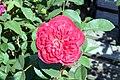 Rosa Benjamin Britten 0zz.jpg