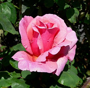 A photo of a Rosa Kolkhoznitsa taken by User:Stan Shebs.