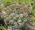Rosa glauca plant (07).jpg