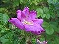 Rosa rugosa 4zz.jpg