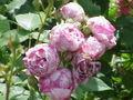 Rosa sp.143.jpg
