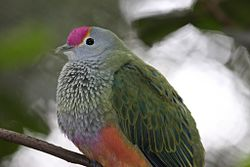 Rose-crowned Fruit-Dove - Ptilinopus regina (7088988107).jpg