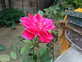 Rose 15.jpg