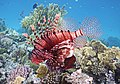 Rotfeuerfisch.Pterois miles. Рыба-зебра, рыба-лев. DSCF1392WI.jpg
