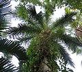 Roystonea regia (24884787212).jpg