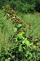 Rubus allegheniensis NRCS-015.jpg
