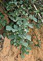 Rubus ellipticus obcordatus 4.jpg