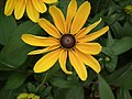 Rudbeckia from Lalbagh flower show Aug 2013 8284.JPG