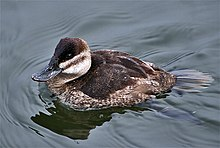 Ruddy duck.jpg