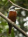 Rufous-bellied Kookaburra Papua NG (16130579410).jpg