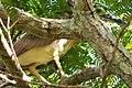 Rufous Night Heron. Nycticorax caledonicus (48629998167).jpg