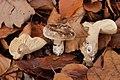 Russula nigricans 56872940.jpg