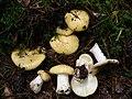 Russula ochroleuca 2004-11-15.jpg