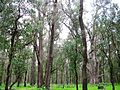 SWA Tuart Discovery Trail 2 James Block Tuart Forest NP VII-2012.JPG