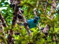 Saí-azul aproveitando temporada de Jaboticabas.jpg