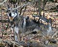 Saarlooswolfhond Merlin.jpg