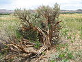 Sagebrush with shattered trunk.jpg