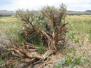 Arizona/New Mexico Mountains ecoregion - Image: Sagebrush with shattered trunk