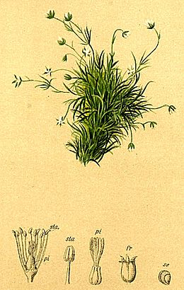 Sagina saginoides Atlas Alpenflora