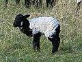 Saint-Étienne-de-Baïgorry - Moutons 6.jpg