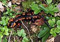 Salamandra salamandra Saarland 025.jpg