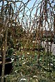 Salix caprea Pendula 1zz.jpg