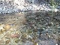 Salmon run at Adams River 2010 (5074051251).jpg
