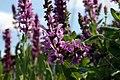 Salvia nemorosa Rose Queen 3zz.jpg