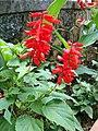 Salvia splendens (2).JPG