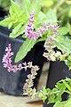 Salvia x sylvestris May Night 0zz.jpg