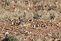 Sand Rat (4989719184).jpg