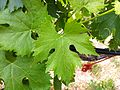 Sangiovese leaf from Red Willow.jpg